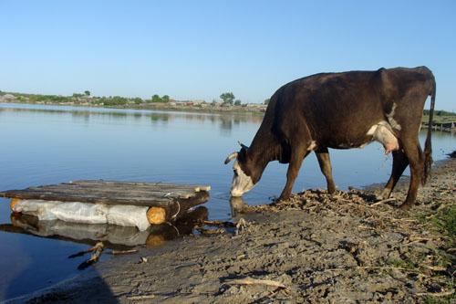 Коровы на водопое у Половинского озера.