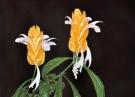 Цветёт пахистахис
