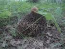 Ёжик в половинском лесу
